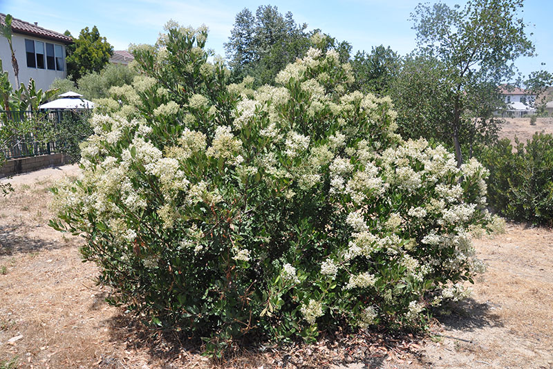 Please help us identify these plants plantmaster blog white flowering shrub mightylinksfo