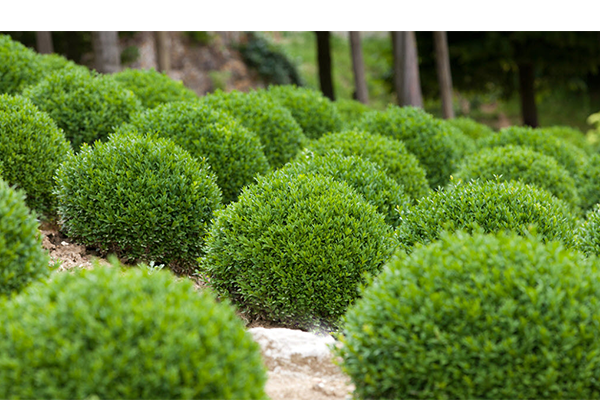Monrovia Nursery - Petite Pillar Boxwood